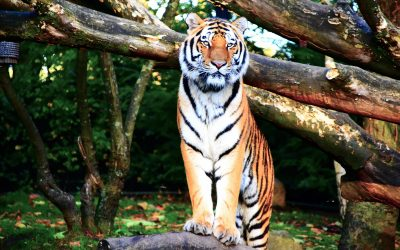 New Podcast-Tiger Pose